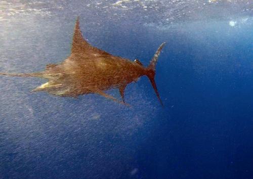 Blue Marlin 2